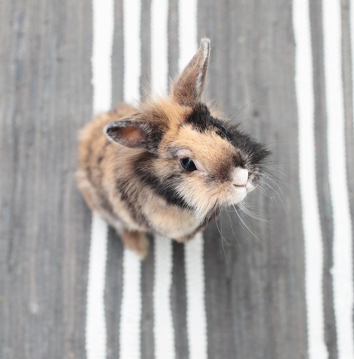 Kaninchen Zwergkaninchen Teppich GrennGate
