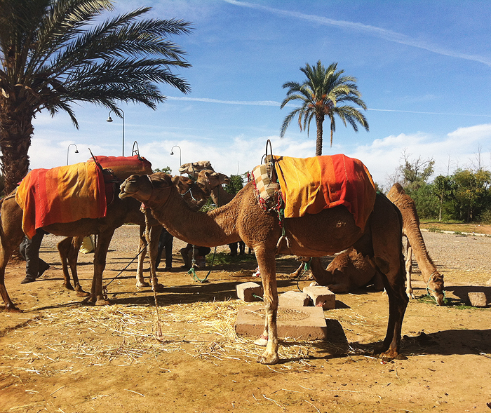 kamelreiten, reiseglück, travel, travelguide, marrakesch, marrakech