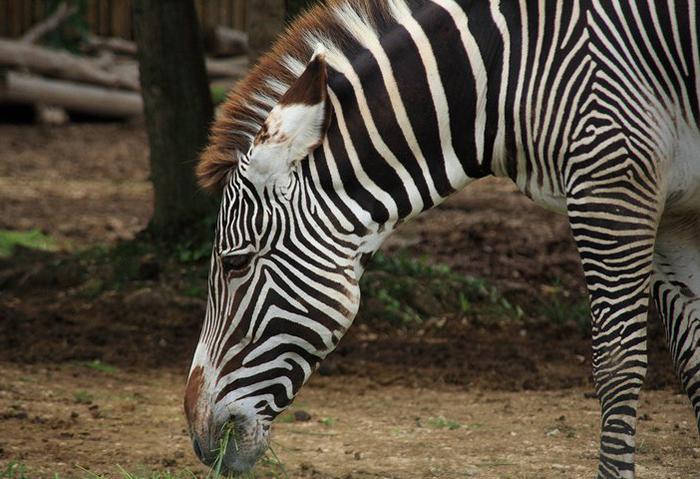 Reiseglueck Gardasee Bardolino travel Safari Park Parco Natura Viva Zebra